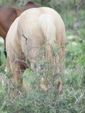Полу- дикие лошади, задний взгляд вольность Израиль стоковая фотография rf