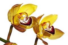 2 Полу-открытых желтых и magenta цветка орхидеи Cymbidium Стоковые Изображения