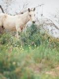 Полу- одичалый cream осленок вольность Израиль стоковая фотография
