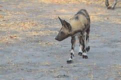 Подход к Ботсвана Том Wurl дикой собаки Стоковые Изображения RF