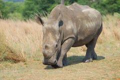 Подход к Rhinocerous Стоковые Изображения RF