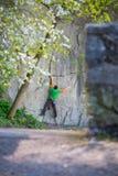 Подъемы альпиниста на утесе Стоковая Фотография RF