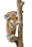 Подъемы коалы Стоковые Изображения