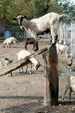Подъем отечественной козы на штангу Стоковые Фото