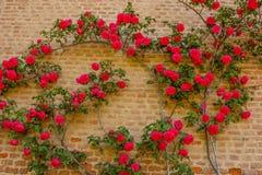 Подъем роз на кирпичной стене Стоковые Изображения RF