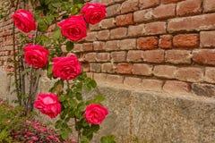 Подъем роз на кирпичной стене Стоковое фото RF