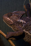 Подъем хамелеона на ветви в terrarium Стоковое Изображение RF