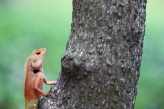 Подъем ящерицы на дереве Стоковое Изображение RF