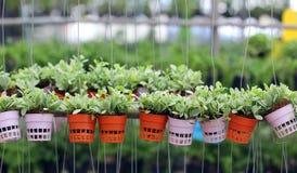 Подъем nummularia Dischidia или зеленый завод creeper Стоковое Изображение