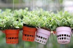 Подъем nummularia Dischidia или зеленый завод creeper Стоковая Фотография