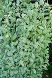 Подъем nummularia Dischidia Стоковое Изображение RF
