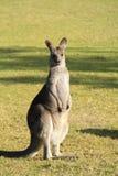 Польностью стоящий бдительный кенгуру против зеленой предпосылки Стоковые Изображения