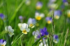 Польские цветки луга Стоковая Фотография