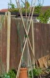 Поляки фасоли бегуна в положении Стоковое Изображение