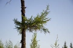 Поляк лиственницы на голубой предпосылке Стоковая Фотография