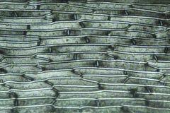 Поляризовывая микрорисунок клеток лист от мха Grimmia от Conne Стоковые Изображения RF