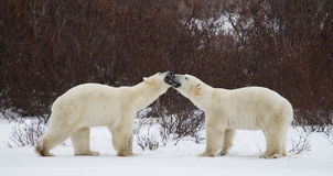 2 полярного медведя играя друг с другом в тундре Канада Стоковая Фотография
