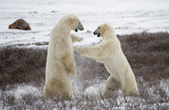 2 полярного медведя играя друг с другом в тундре Канада Стоковое Изображение