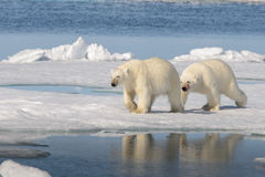 2 полярного медведя на льде Стоковые Фотографии RF