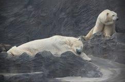 Полярные медведи принимая ворсину Стоковое фото RF
