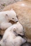 Полярные медведи Стоковые Изображения RF