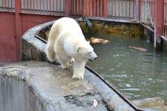 Полярный медведь в зоопарке на бассейне. Стоковые Изображения RF