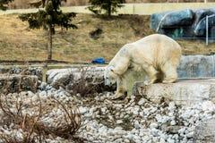 Полярный медведь в зоопарке Торонто Стоковые Фотографии RF