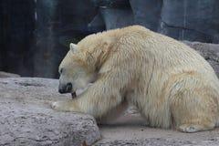 Полярный медведь жуя на косточке Стоковые Фотографии RF