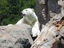 Полярный медведь играя в утесе Стоковая Фотография RF
