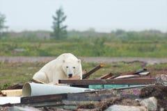 Полярный медведь и старье 1 стоковое фото rf