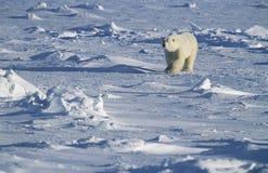 Полярный медведь идя в снег Юкон Стоковые Фотографии RF