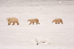 Полярный медведь и Cubs матери идя в линию Стоковая Фотография RF
