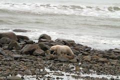 Полярный медведь на пляже стоковое изображение rf