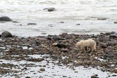 Полярный медведь на пляже стоковое фото rf
