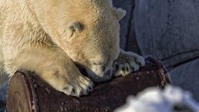 Полярный медведь против бочонка масла Стоковое фото RF