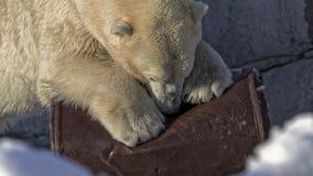 Полярный медведь против бочонка масла Стоковая Фотография RF