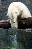 Полярный медведь, дружелюбные животные на зоопарке Праги Стоковые Фотографии RF