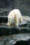 Полярный медведь, дружелюбные животные на зоопарке Праги Стоковая Фотография RF