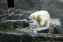 Полярный медведь, дружелюбные животные на зоопарке Праги Стоковые Изображения RF