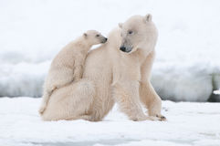 Полярный медведь с новичком Стоковые Фотографии RF