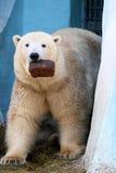 Полярный медведь с ломтем хлеба Стоковые Фотографии RF