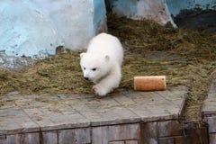 Полярный медведь с ломтем хлеба Стоковые Изображения