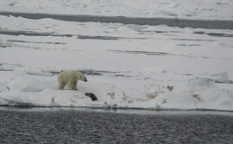 Полярный медведь с It& x27; убийство s Стоковая Фотография