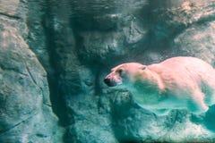Полярный медведь (также известный как Thalarctos Maritimus Стоковые Изображения RF