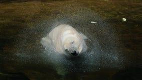 Полярный медведь тряся его голову Стоковая Фотография