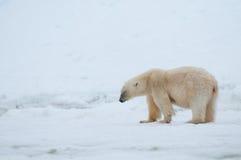 Полярный медведь Стоковое фото RF