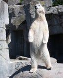 Полярный медведь Стоковая Фотография RF