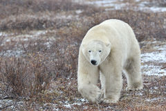 Полярный медведь стоковое изображение rf