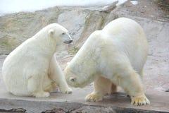 Полярный медведь. Стоковые Фото