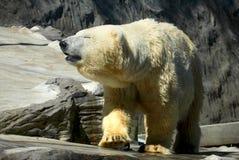 Полярный медведь Стоковые Изображения